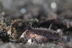 BD-141012-Komodo-4525-Paracentropogon-zonatus-(Weber.-1913)-[Bandtail-waspfish].jpg